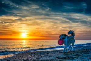 beach sunset dog frisbee
