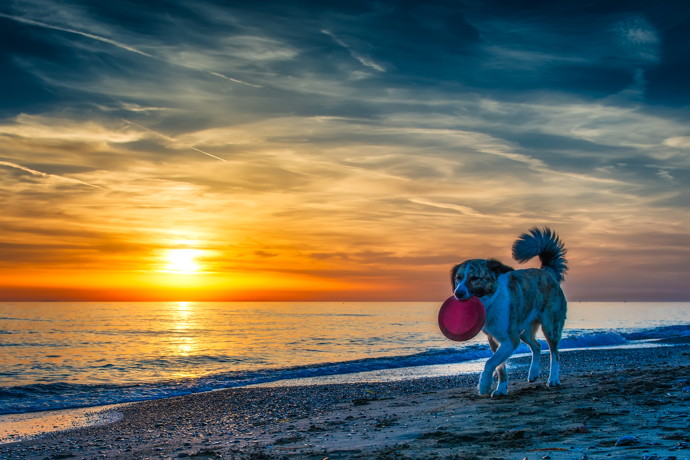 beach sunset dog frisbee
